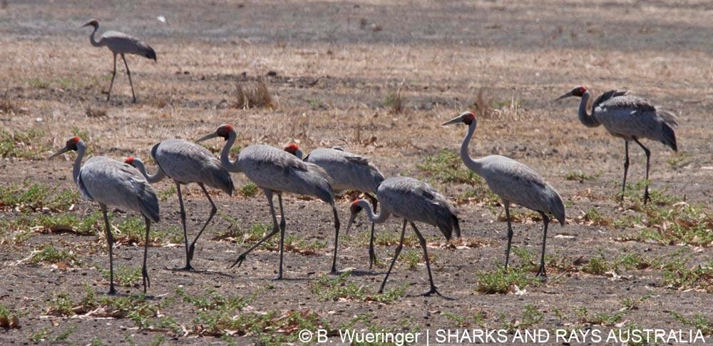 A group of brolgas, the Australian crane