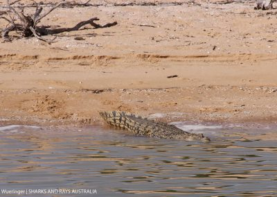 A 3m long saltwater crocodile glides into the waters of the Gulf of Carpentaria.
