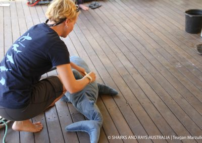As part of the research indiction provided by Sharks And Rays Australia, Dr Wueringer demonstrates how to tag a shark or sawfish right below the dorsal fin.