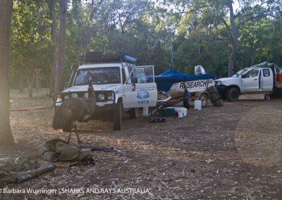 An emu visits the SARA camp in FNQ