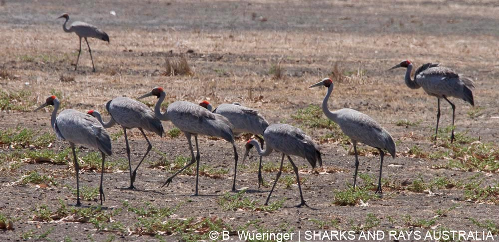 A group of brolgas, the Australian crane