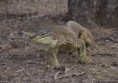 The Yellow spotted monitor Varanus panoptes is widely distributed across Northern Australia. It can attain total lengths of up to 1.4m