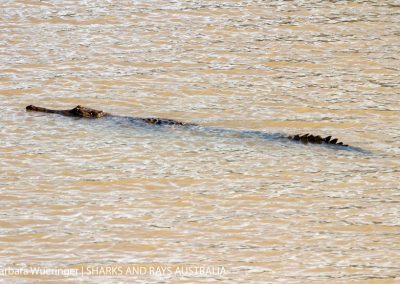 This freshwater crocodile Crocodylus johnstoni was around 2.5 m long.