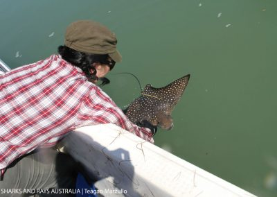 Our volunteer Laura releases a juvenile eagle ray Ateobatus narinari.