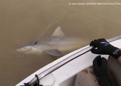 We just caught a bull shark Carcharhinus leucas!