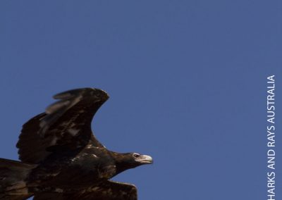 A wedge-tail eagle Aquila audax watches us from above
