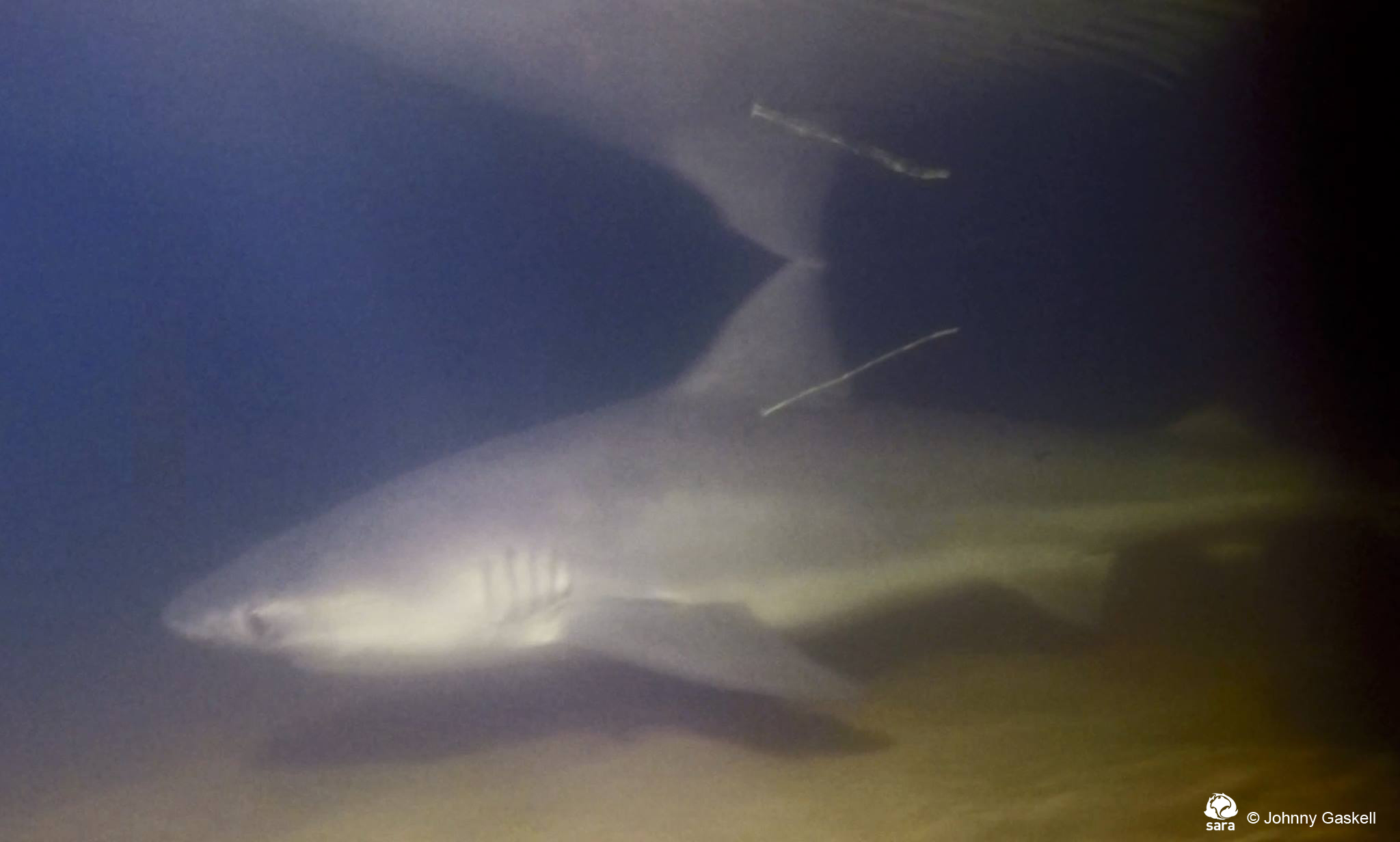 The species we work with - Sharks And Rays Australia