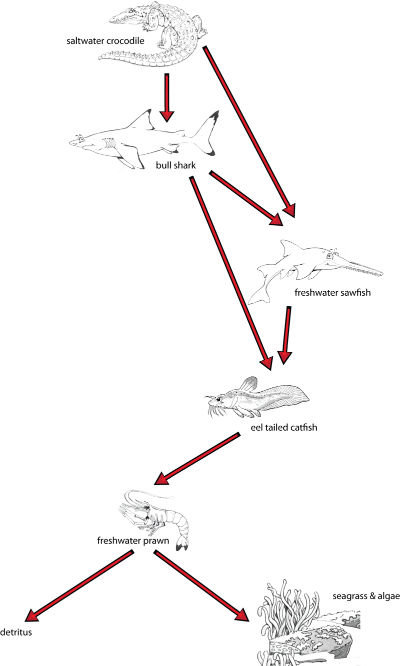 An example food web from our game that includes the freshwater sawfish and the bull shark