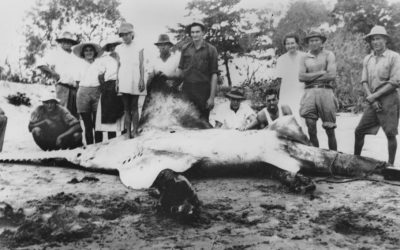 Sawfish – the forgotten sea monsters