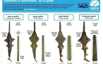 Sawfish species identification flyer