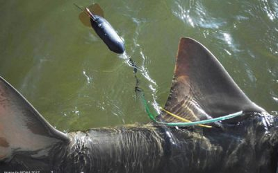 A rare insight into the habitat requirements of large Aussie sawfish